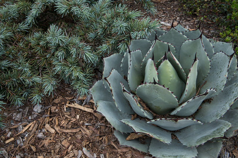 A study in dusty blue: Cedrus deodara 'Prostrate Beauty' and Agave parryi var. huachucensis share the same hue with vastly different structures and textures.