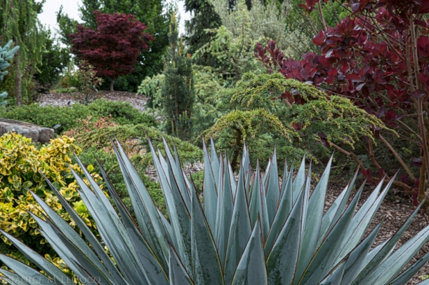 succulents, conifers