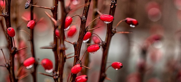 Berberis thunbergii, berries, foliage gardening