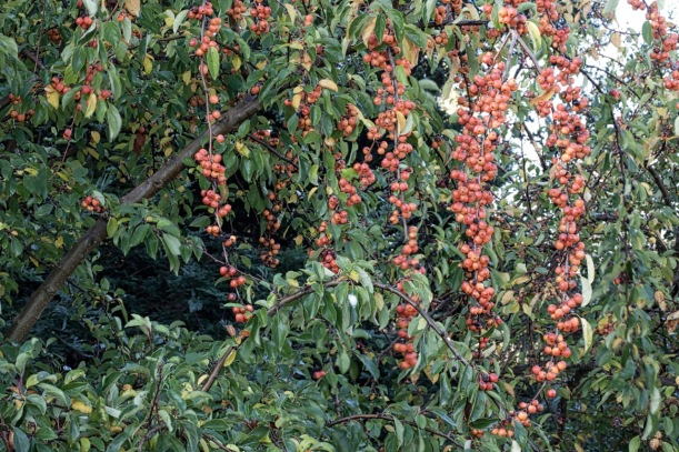 malus, ornamental fruit