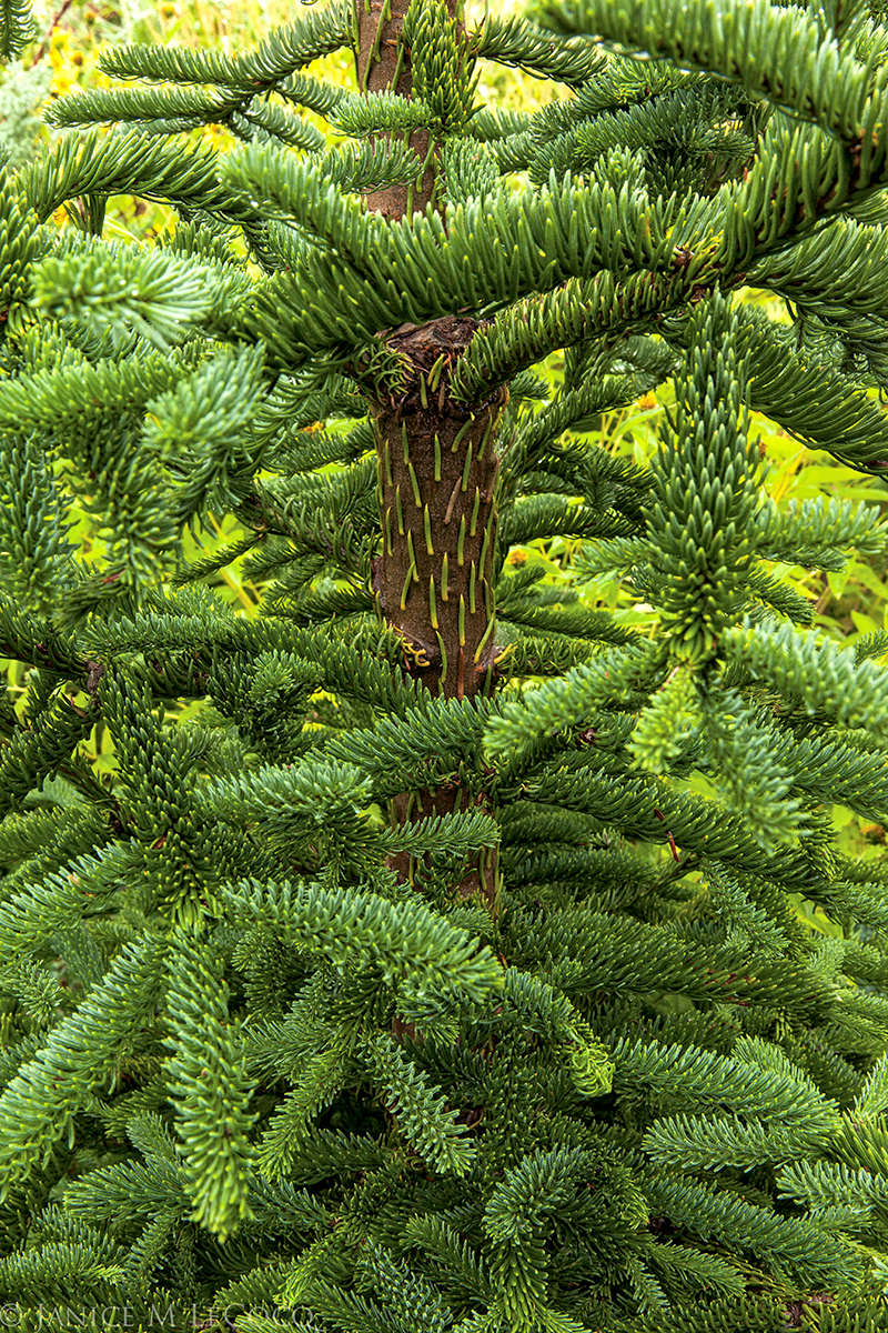 fir, conifer, foliage gardening