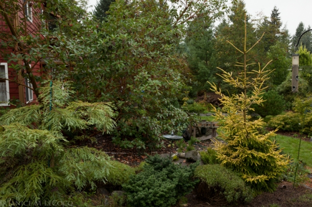 conifers, spruce, foliage gardening