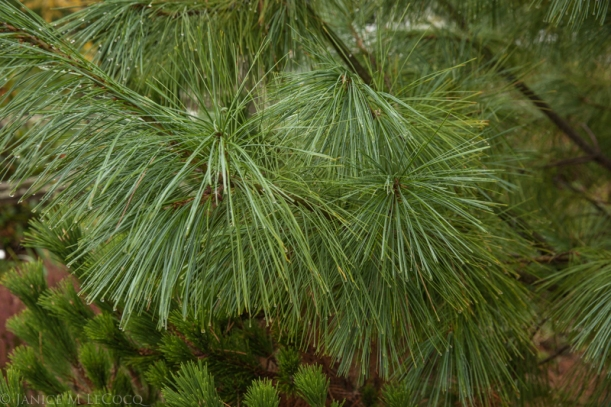 Pinus, conifers, foliage gardening
