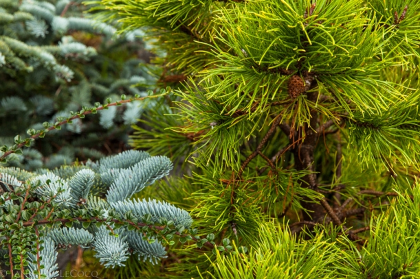 conifers, pines, firs, garden color, foliage gardening
