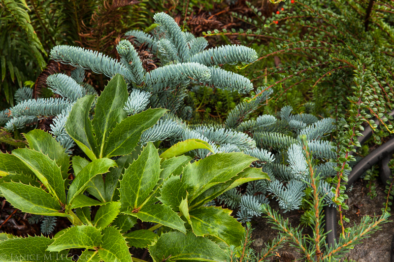 conifers, foliage gardening, plant texture