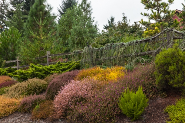 calluna, erica, conifers