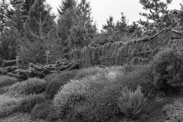 conifers, heaths and heathers