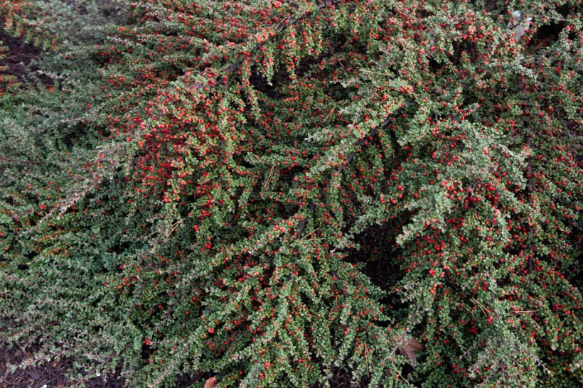 foliage gardening, ornamental berries