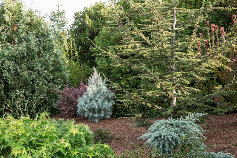 Cedrus deodara 'Feelin' Blue', Cedrus atlantica 'Sahara Ice'