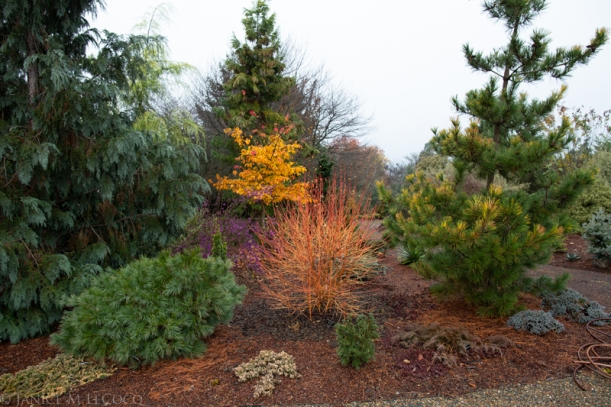 Beautyberry, dogwood, conifers